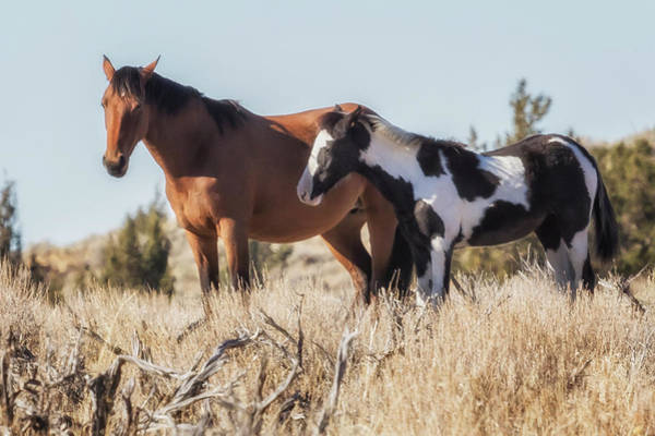 Photograph - Bay And Young Pinto Mustangs From The South Steens Herd by Belinda Greb
