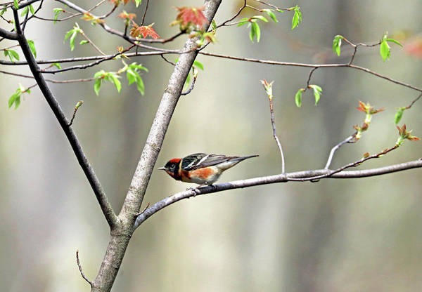 Wall Art - Photograph - Bay Breasted Warbler by Debbie Oppermann