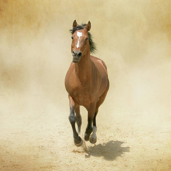 Wall Art - Photograph - Bay Horse Galloping In Dust by Christiana Stawski