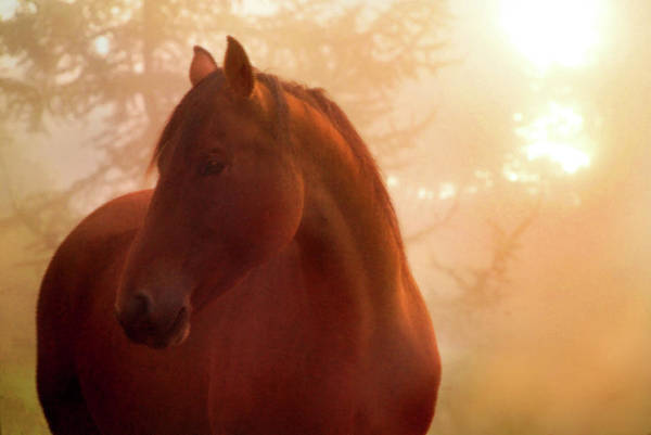 Horse Photograph - Bay Horse In Fog At Sunrise by Anne Louise Macdonald Of Hug A Horse Farm