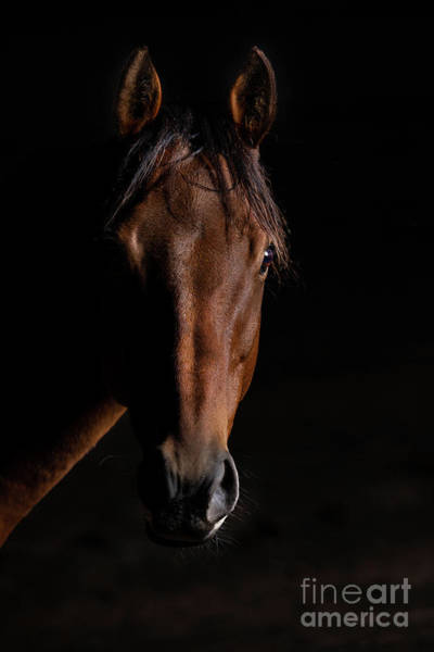 Photograph - Bay Thoroughbred Portrait On Black Background by Michelle Wrighton