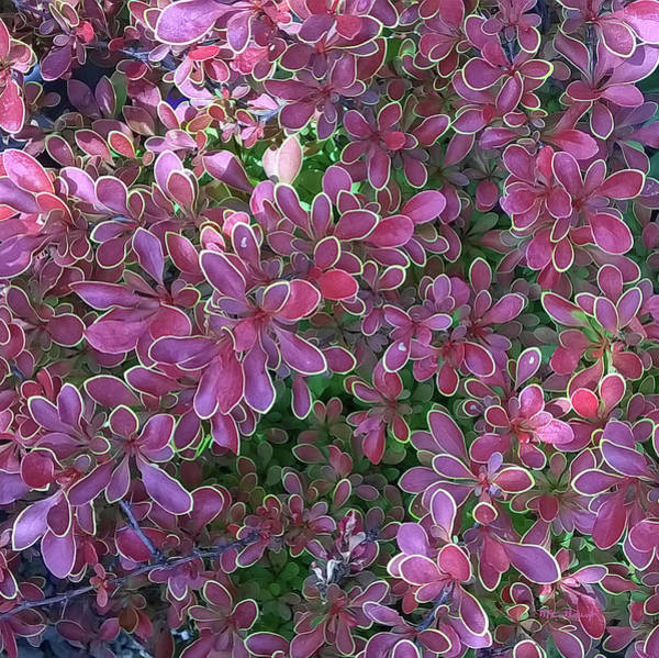 Photograph - Bayberry Bush Abstract by Duane McCullough
