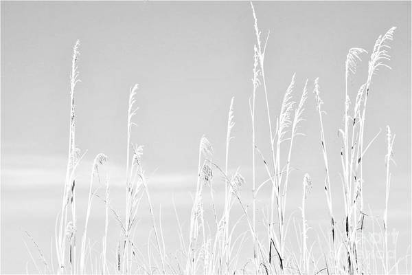 Photograph - Beach Grasses by Merle Grenz