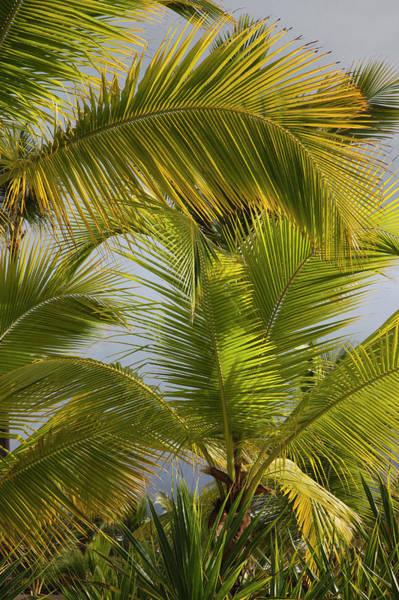 Greater Antilles Photograph - Beach Palms, Bavaro Beach, Bavaro by Danita Delimont