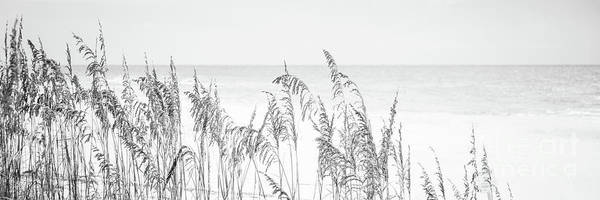 Wall Art - Photograph - Beach Sea Oats Grass Florida Black And White Panorana Photo by Paul Velgos