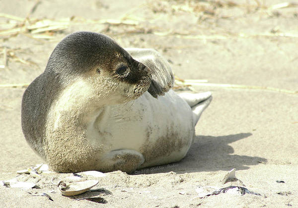 Photograph - Beach Seal by Debbie Stahre