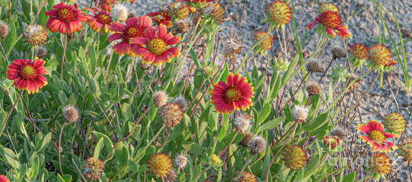 Photograph - Beach Sunrise Flowers by Dale Powell