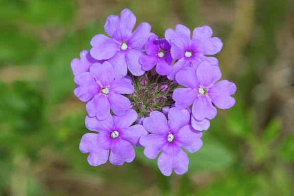 Photograph - Beach Verbena #2 by Paul Rebmann