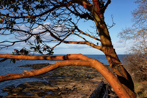 Photograph - Beachcomber Arbutus by Randy Hall