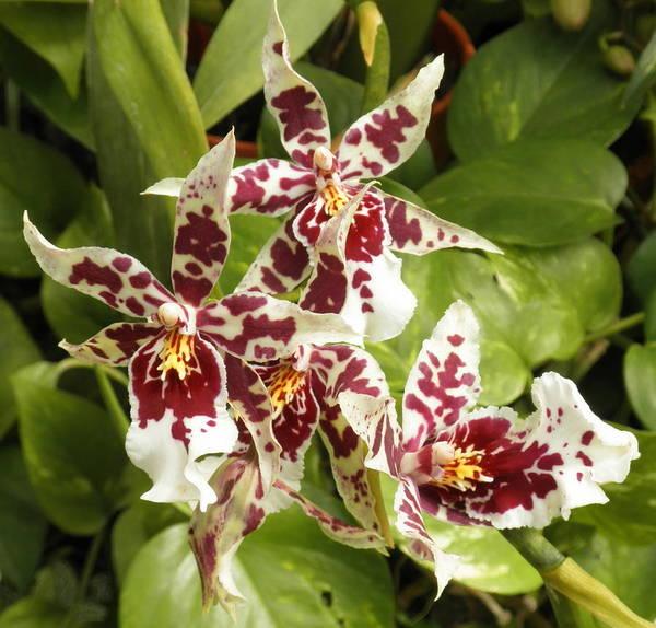 Photograph - Beallara Hybrid by Barbara Keith