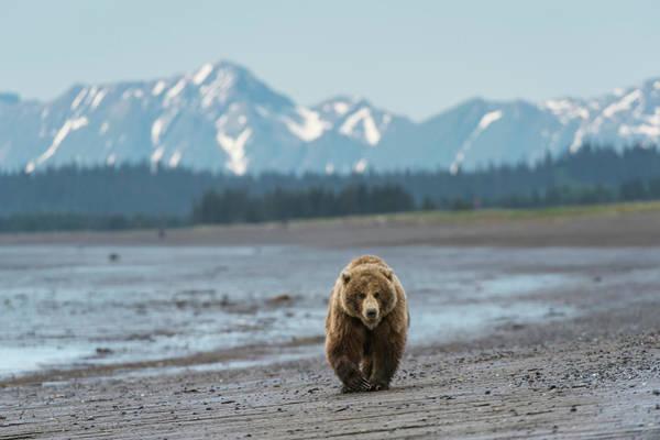 Bear Beach, Alaska Art Print