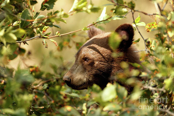 Photograph - Bear Cub by Beve Brown-Clark Photography