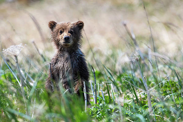 Born In The Usa Photograph - Bear Cub Peeking Up Out Of The Grass by Kip Evans / Design Pics