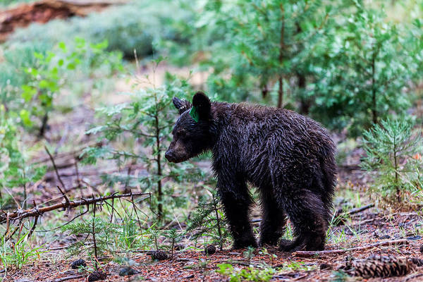Wall Art - Photograph - Bear In Sequoia National Park by Oscity