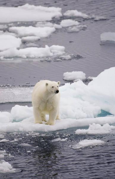 Hunting Island Wall Art - Photograph - Bear On Small Ice Floe by Jrphoto6