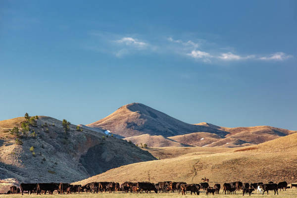 Photograph - Bear Paw Cattle by Todd Klassy