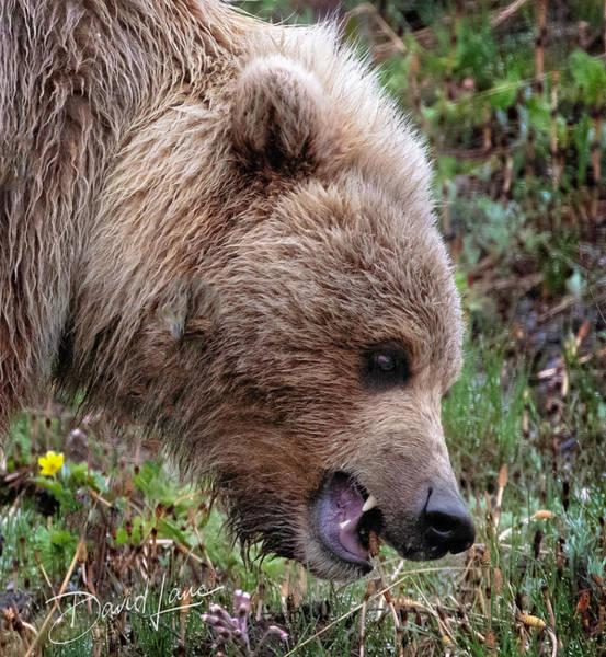 Photograph - Bear Scare by David A Lane