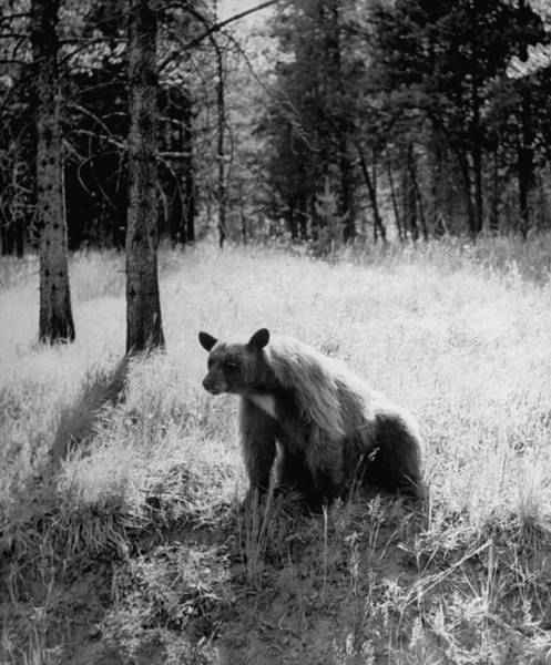 Printmaking Photograph - Bear Sitting Alone In The Woods In Yello by Alfred Eisenstaedt