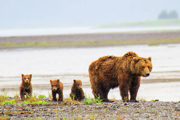 Born In The Usa Photograph - Bear With Cubs In Katmai, Alaska by Feng Wei Photography