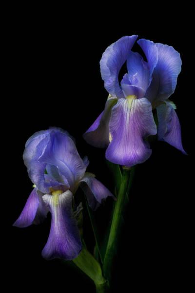 Photograph - Bearded Iris by Debra and Dave Vanderlaan