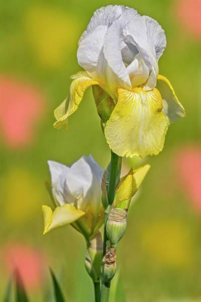 Photograph - Bearded Iris Garden by Susan Candelario