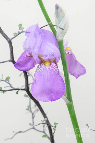 Photograph - Bearded Iris Susan Bliss  by Tim Gainey