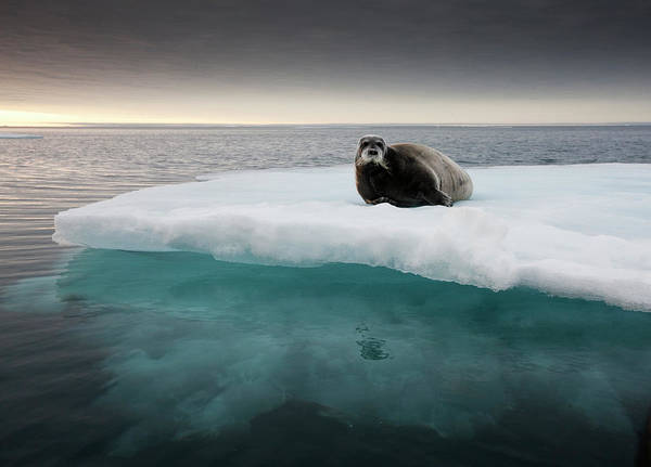 Ice Floe Photograph - Bearded Seal, Svalbard, Norway by Paul Souders