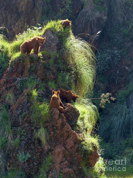 Photograph - Bears On A Rock by Phil Banks