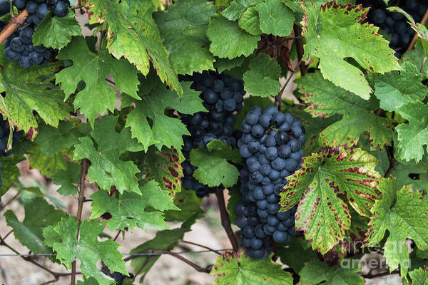 Photograph - Beaujolais Grapes On The Vine I by Thomas Marchessault