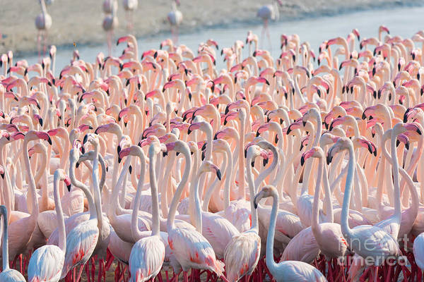Flock Wall Art - Photograph - Beautiful And Wild - Flamingos by Keyur Athaide