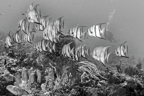 Photograph - Beautiful Angels On The Reef In Black And White by Debra and Dave Vanderlaan