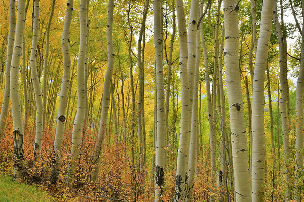 Photograph - Beautiful Aspen Grove Along Last Dollar Road In Co by Ray Mathis