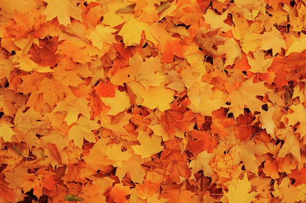 Georgia Photograph - Beautiful Autumn Maple Leaves by Li Kim Goh