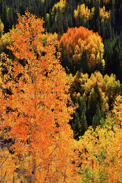 Photograph - Beautiful Backlit Aspens Along Million Dollar Highway by Ray Mathis