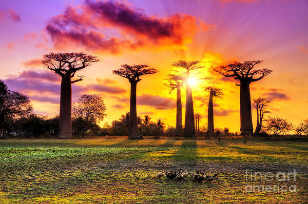 Hdr Wall Art - Photograph - Beautiful Baobab Trees At Sunset At The by Dennis Van De Water