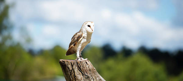 Photograph - Beautiful Barn Owl by Rob D Imagery