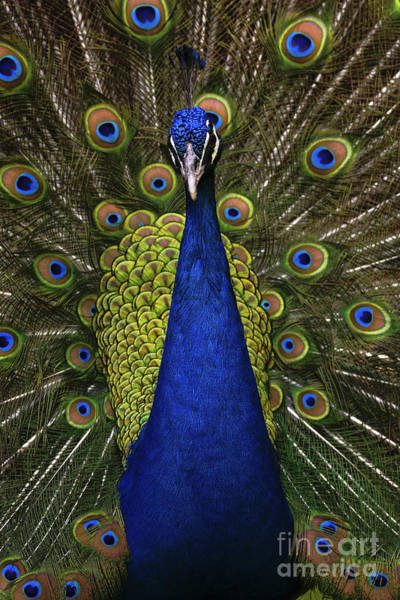 Wall Art - Photograph - Beautiful Bird, Male Of Indian Peacock by Ondrej Prosicky