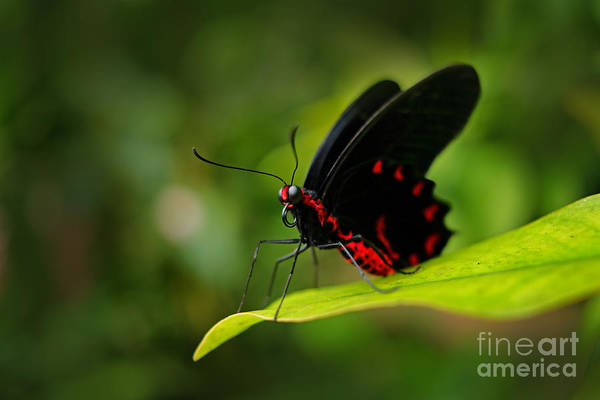 Wall Art - Photograph - Beautiful Black And Red Poison by Ondrej Prosicky