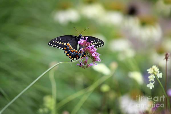 Photograph - Beautiful Black Swallowtail In The Garden by Karen Adams