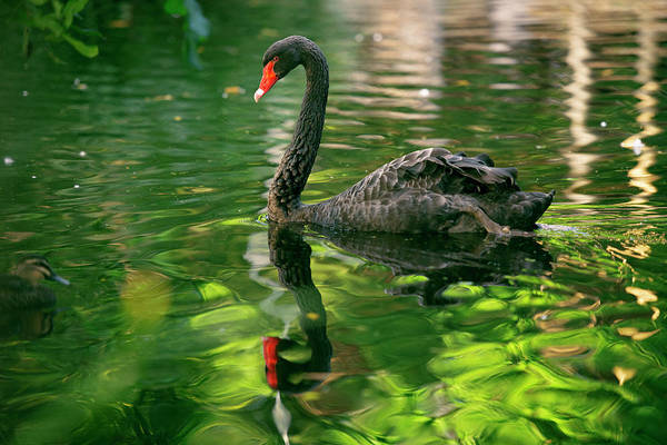 Photograph - Beautiful Black Swan. by Rob D Imagery