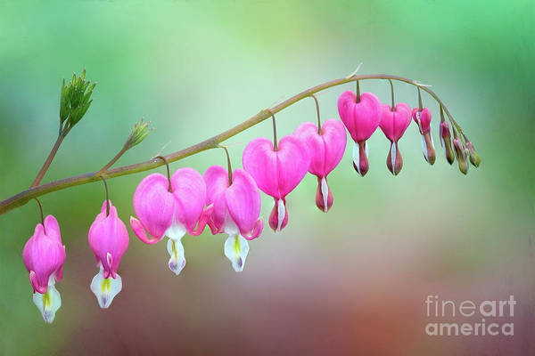Photograph - Beautiful Bleeding Hearts by Anita Pollak