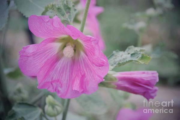 Wall Art - Photograph - Beautiful Blooming Hollyhock by Suzanne Wilkinson