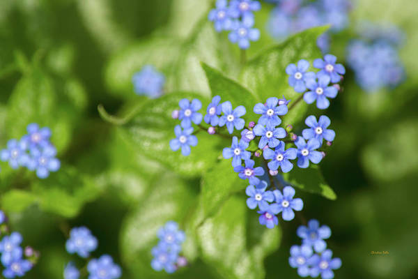 Photograph - Beautiful Blue Flowers by Christina Rollo