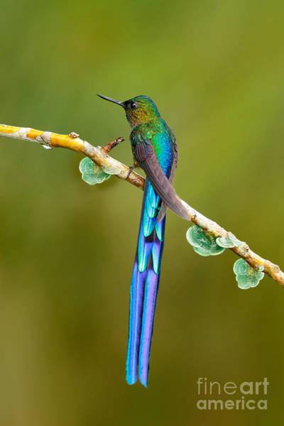 Beautiful Blue Glossy Hummingbird With Art Print