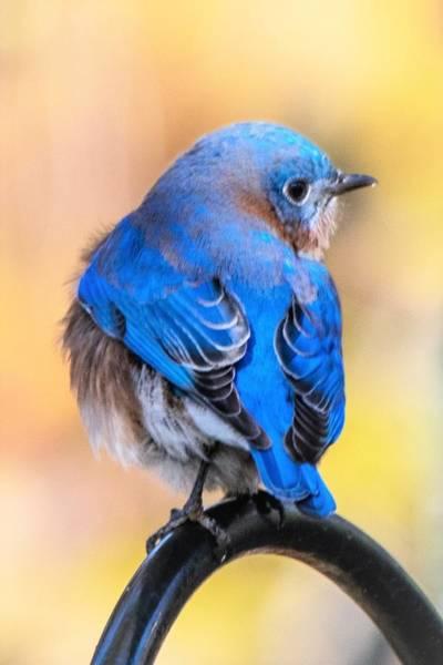 Wall Art - Photograph - Beautiful Bluebird by Mary Ann Artz