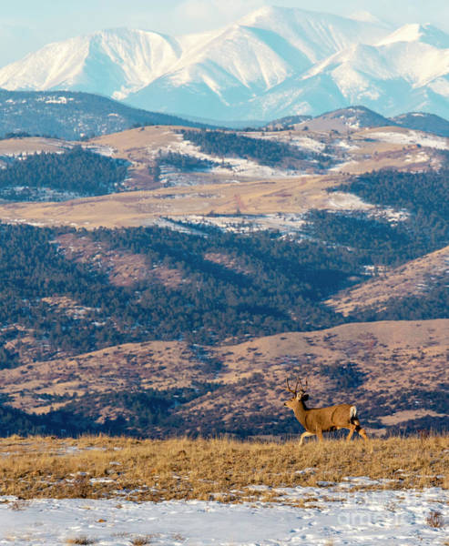 Photograph - Beautiful Buck Mule Deer And The Sangre by Steve Krull