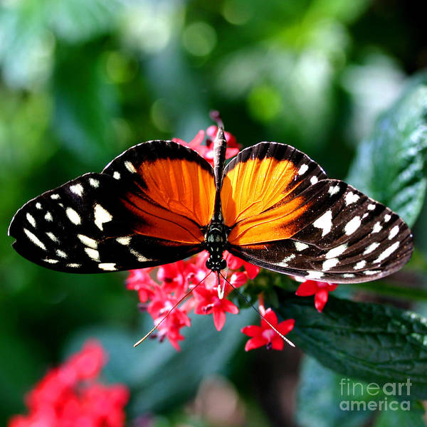 Beautiful Butterfly Photograph - Beautiful Butterfly by Karl Rosencrants