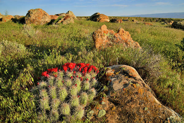 Photograph - Beautiful Cacti Bloom At Book Cliffs Desert by Ray Mathis