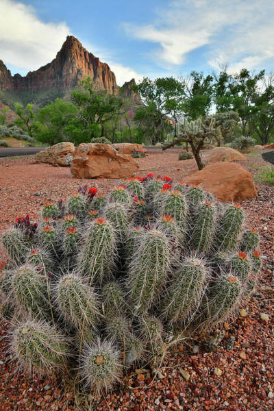 Photograph - Beautiful Cacti In Zion National Park by Ray Mathis