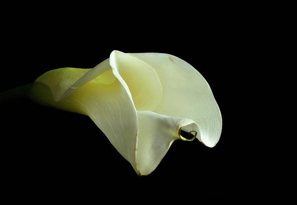 Photograph - Beautiful Calla Lily by Jennifer Wick